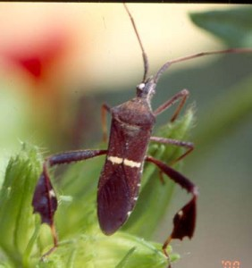 05leaf-footed_bug-282x300